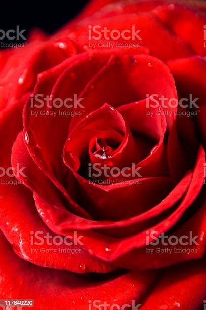 Beautiful rose picture id117640220?b=1&k=6&m=117640220&s=612x612&h=5rbbr2saf3ywmax08kldjdr9zvvhqxapqp1phwcwhn8=