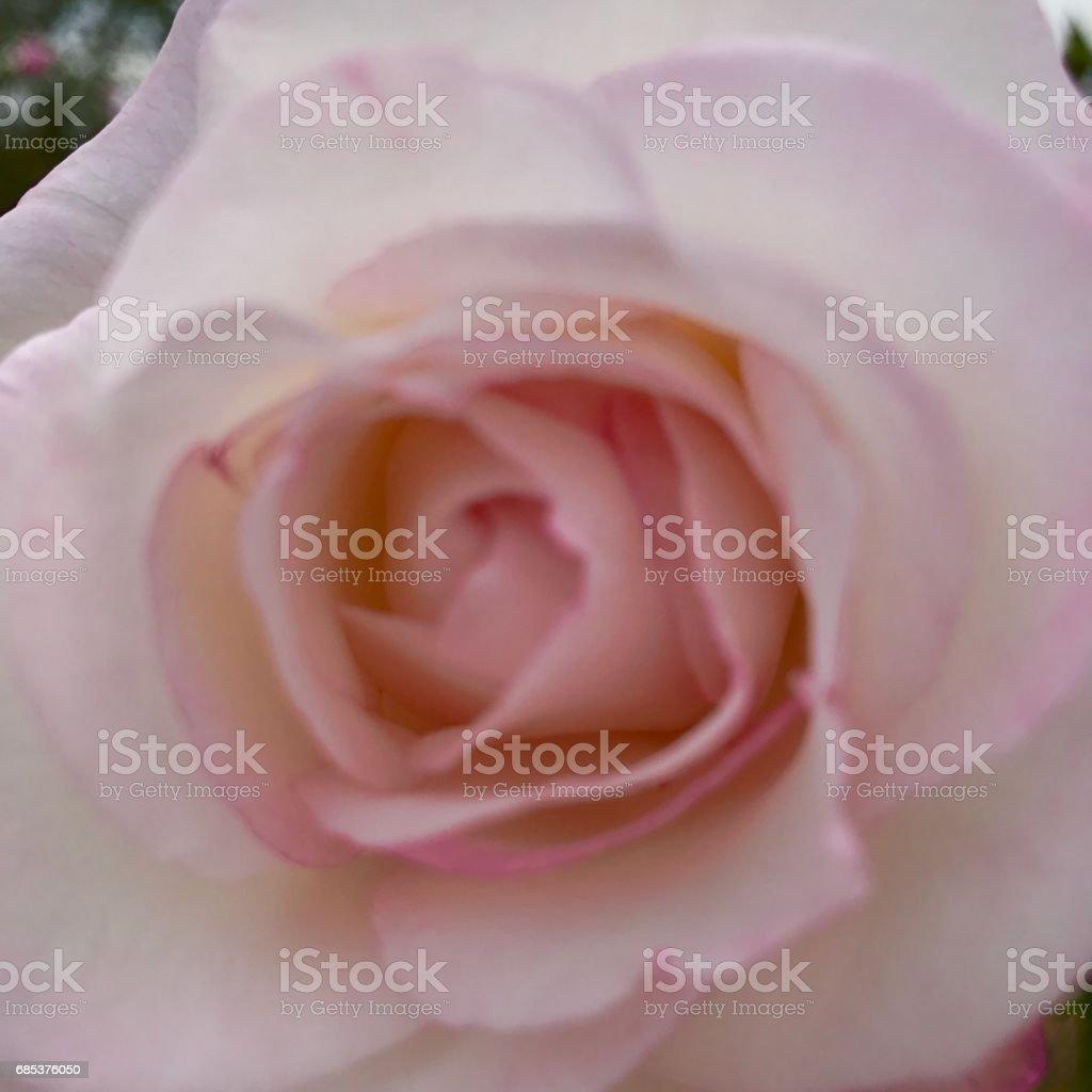 Beautiful rose foto de stock royalty-free