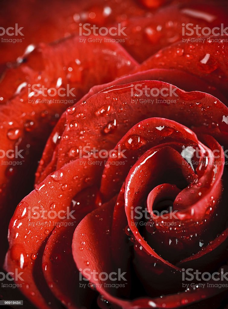 beautiful rose with water drops royalty-free stock photo
