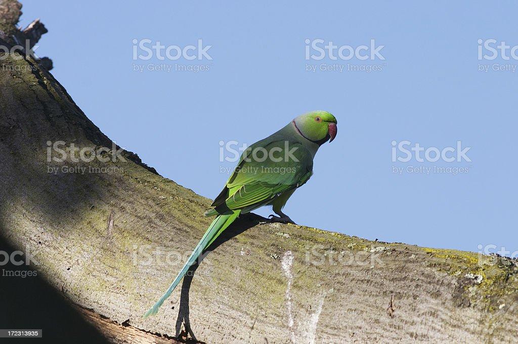 Beautiful rose-ringed parakeet royalty-free stock photo