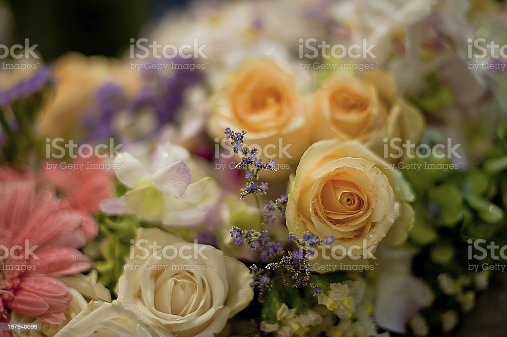 Beautiful Roses as a background royalty-free stock photo
