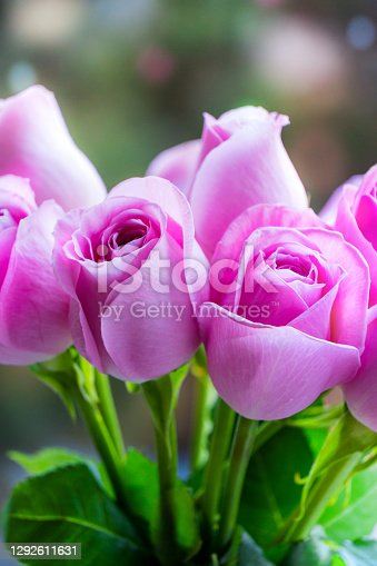 Beautiful Roses Bouquet Background with Sun Lens Flares