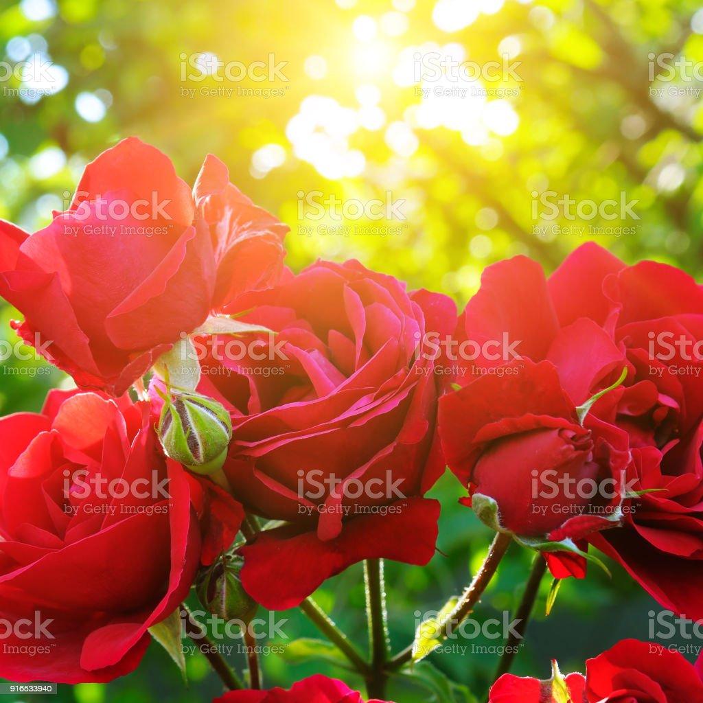Beautiful roses in garden adn sun stock photo