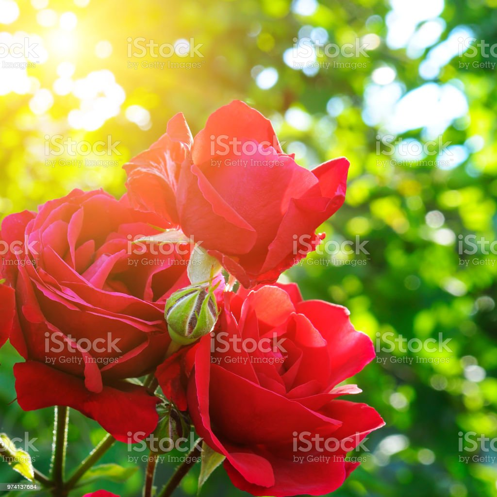 Beautiful roses in garden adn sun. stock photo