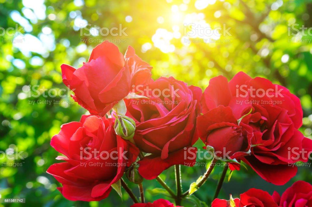 Beautiful roses in garden adn sun. Rose for Valentine Day. stock photo