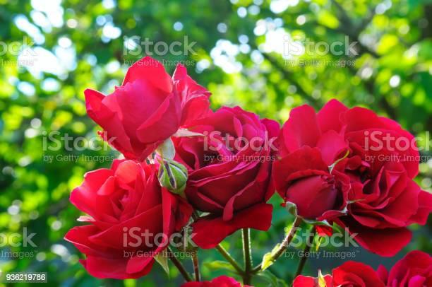 Beautiful roses in summer garden picture id936219786?b=1&k=6&m=936219786&s=612x612&h=1lbkarwwh6qlwyhf9xldw4murfzgeg zup bvgdvupu=