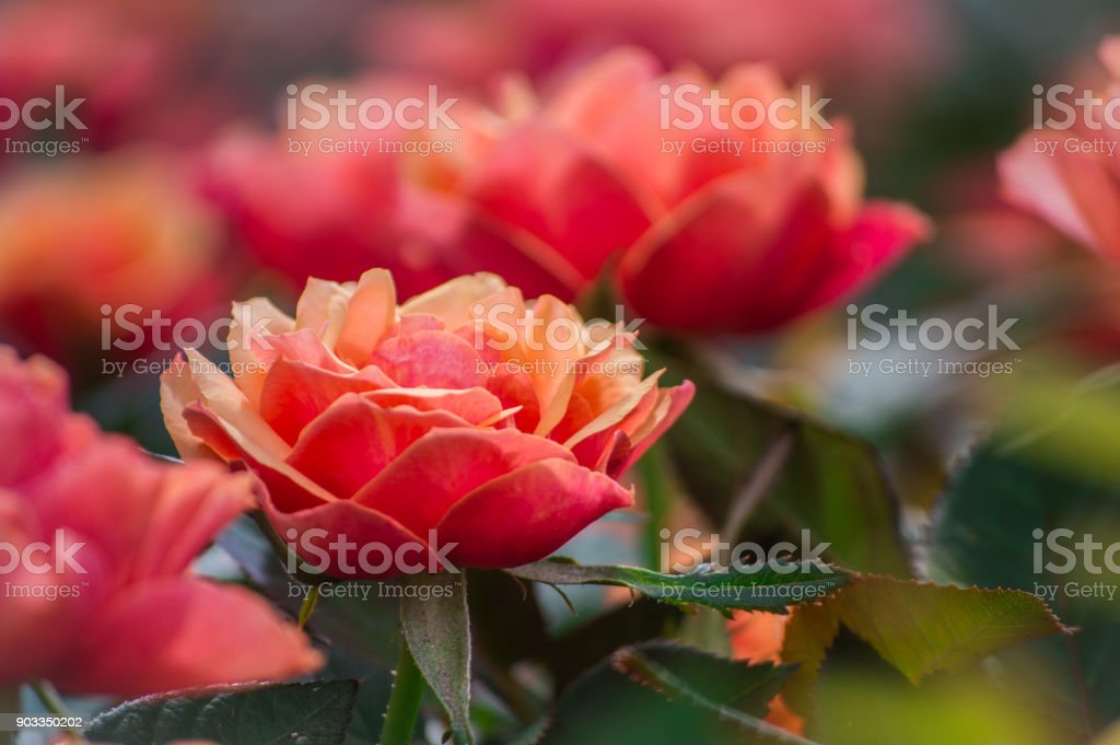 ROSES, beautiful roses in the garden. stock photo