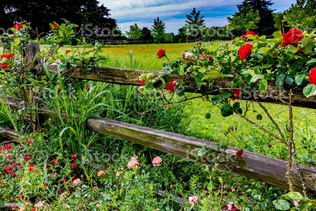Mooie rozen op een oude houten hek van Texas - Royalty-free Bloem - Plant Stockfoto