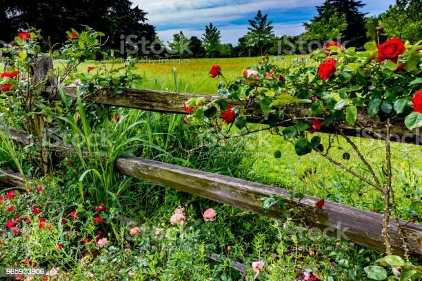 Mooie Rozen Op Een Oude Houten Hek Van Texas Stockfoto en meer beelden van Bloem - Plant