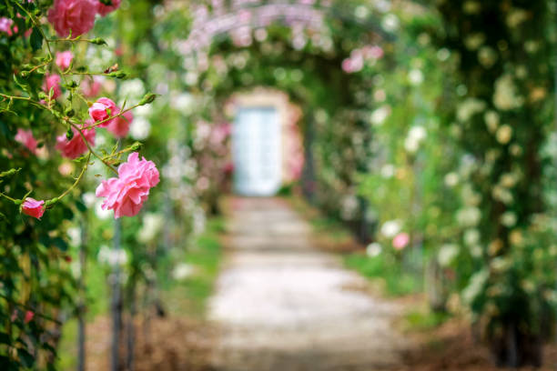 beautiful roses on arches in the ornamental garden with footpath. - formal garden stock photos and pictures