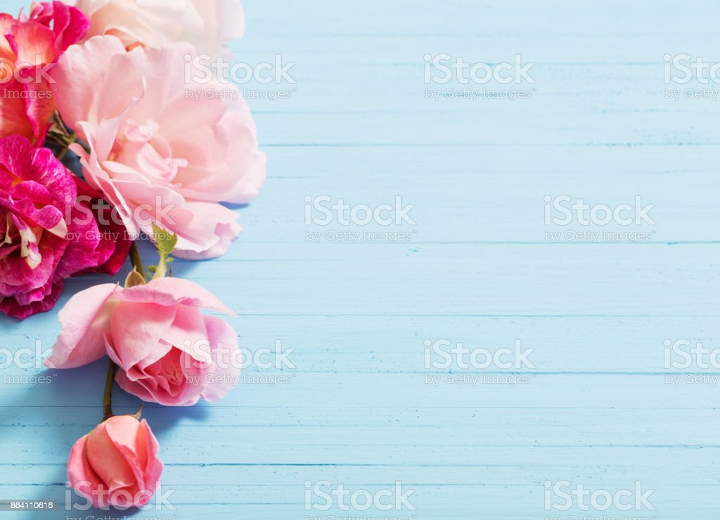 beautiful roses on blue wooden background royalty-free stock photo