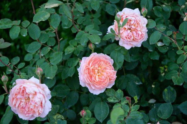 Beautiful roses picture id1222093612?b=1&k=6&m=1222093612&s=612x612&w=0&h=z4p7gh smgpzxdv7yy2fn5anogbtvgxhnih3 slndke=
