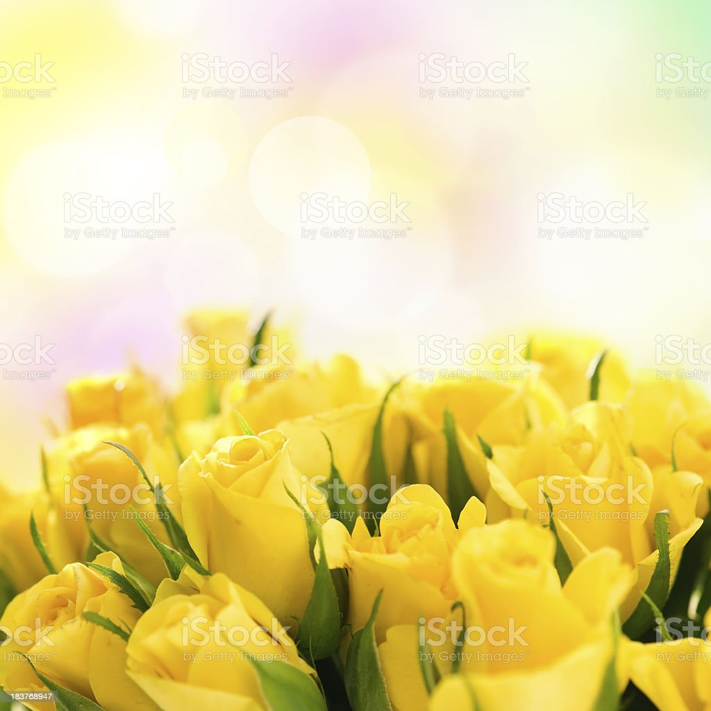 Beautiful roses. stock photo