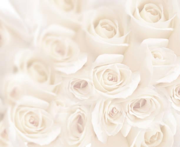 schöne rosen  - coral and mauve stock-fotos und bilder