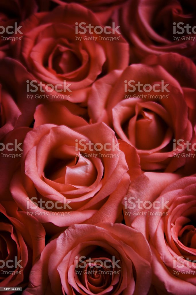 Beautiful roses royalty-free stock photo