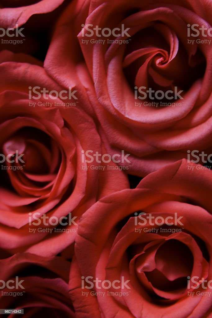Belle Rose foto stock royalty-free