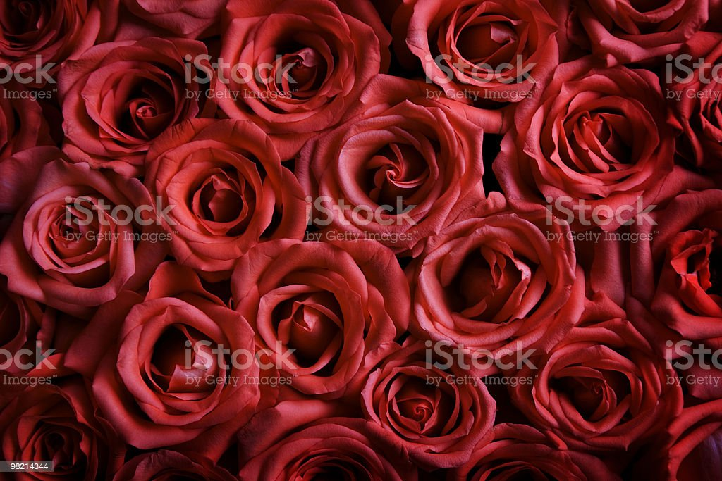 Belle Rose foto stock royalty-free