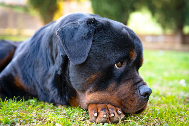119 Rottweiler Wallpaper Stock Photos Pictures Royalty Free Images Istock