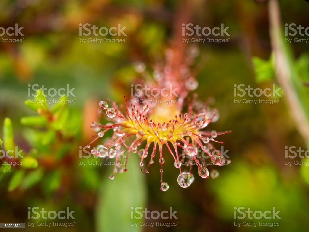 A beautiful round leaved sundew in a marsh after the rain. stock photo
