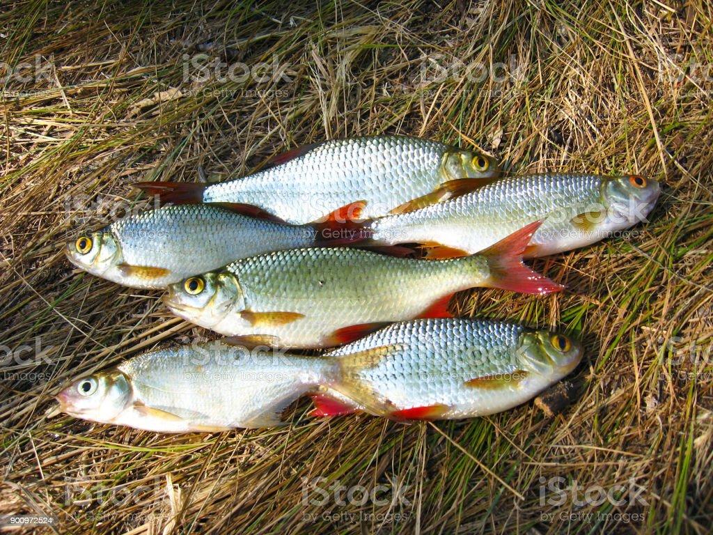 Beautiful ruddes laying on a grass stock photo