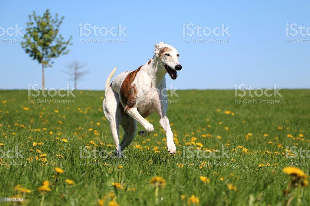 beautiful running galgo stock photo