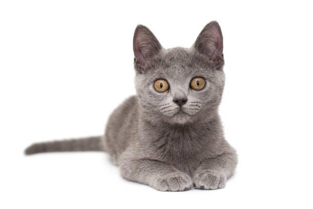 Beautiful russian blue kitten picture id1259136574?b=1&k=6&m=1259136574&s=612x612&w=0&h=gd zp o6gmhac7tpusljnqkaidr6dn8aaclrmb2p gw=