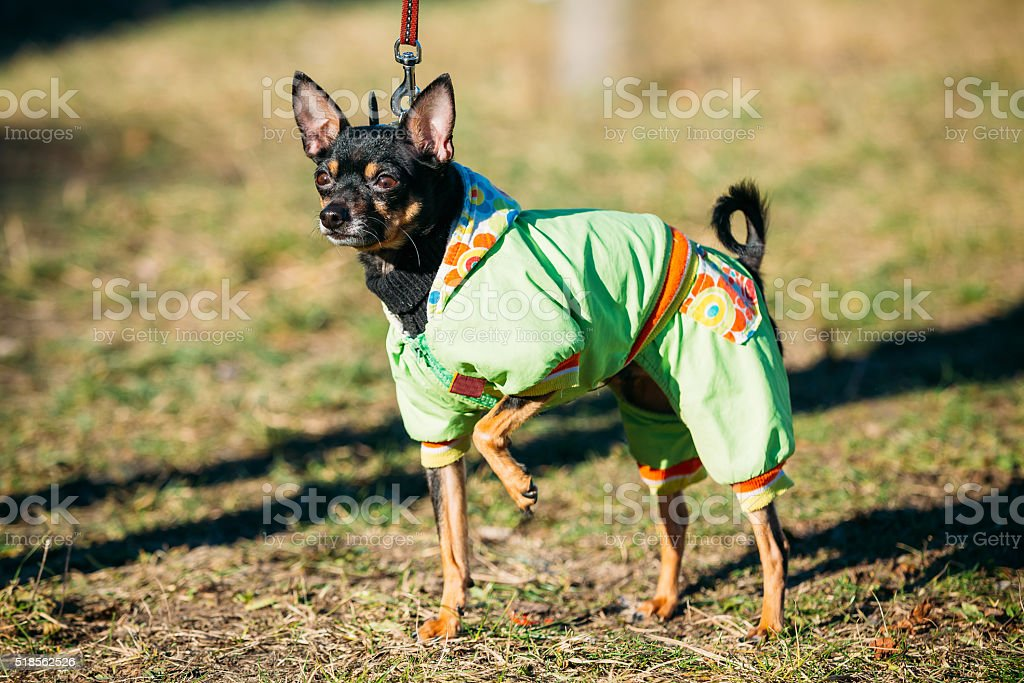 Beautiful Russkiy Toy Dog Dressed Up In Outfit, Staying Outdoor stock photo