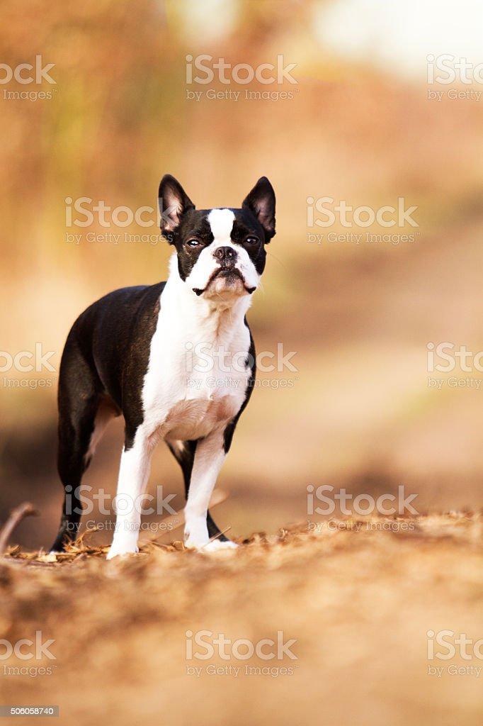 Piękna Smutna Czarny Biały Boston Terrier Pies Lub Buldog Francuski