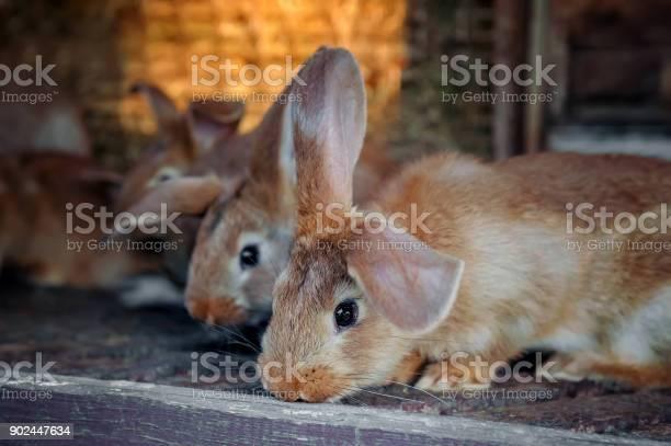 Beautiful sad eared red rabbit in a cage on the farm picture id902447634?b=1&k=6&m=902447634&s=612x612&h=bo3zcctshtlrrdyqhhd 1a7s9bvxlqttrijq1kfsl6u=