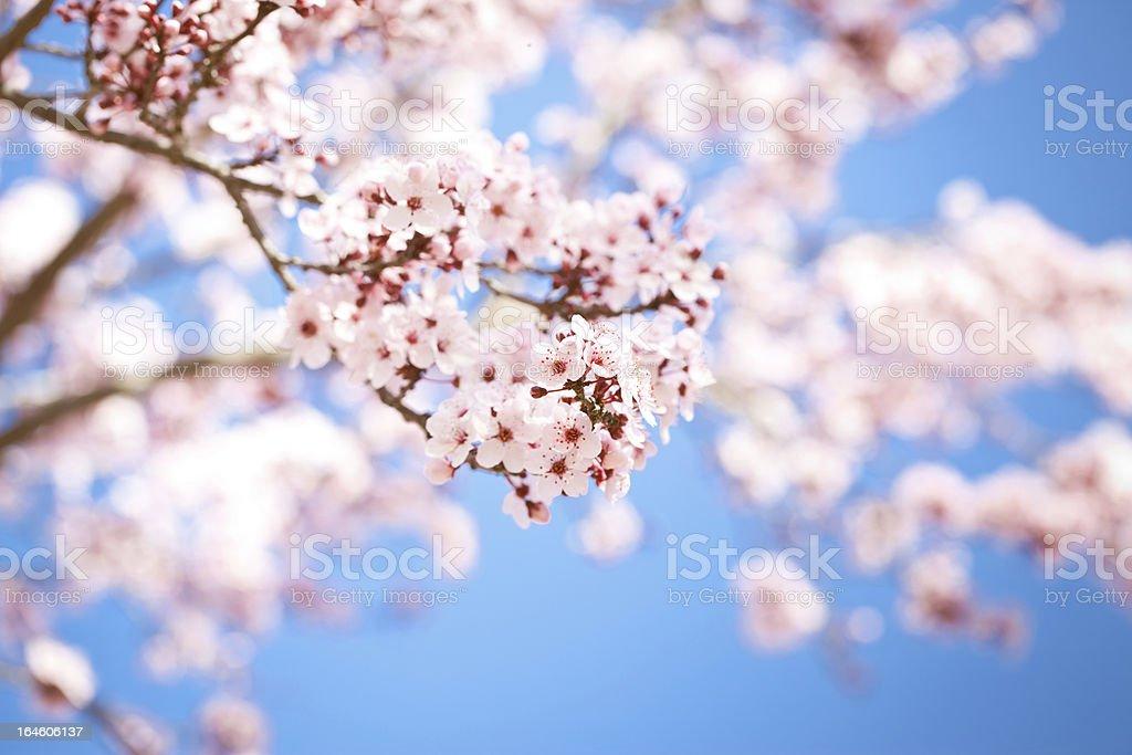 Beautiful  Sakura (Japanese cherry ) flowers on a spring day. royalty-free stock photo