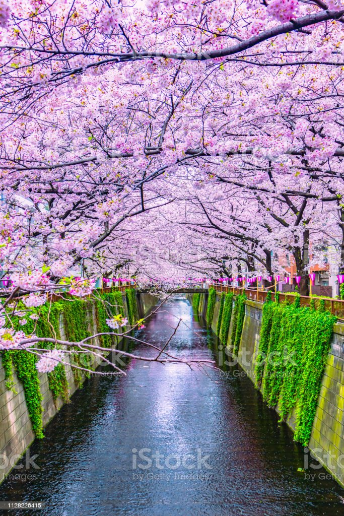 Beautiful Sakura or cherry blossoms spring Meguro River in Tokyo Japan royalty-free stock photo