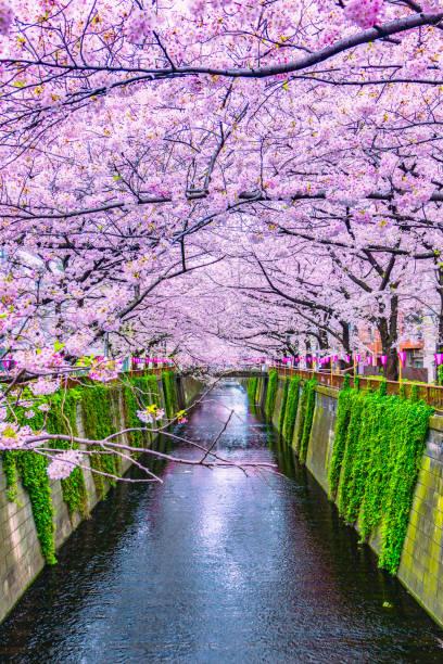 belle sakura ou cerisiers en fleurs printemps rivière meguro à tokyo au japon - japon photos et images de collection