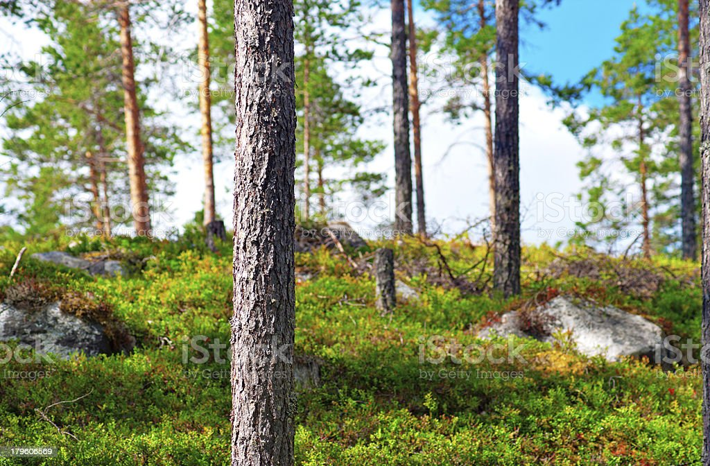 Beautiful Scandinavian forest royalty-free stock photo
