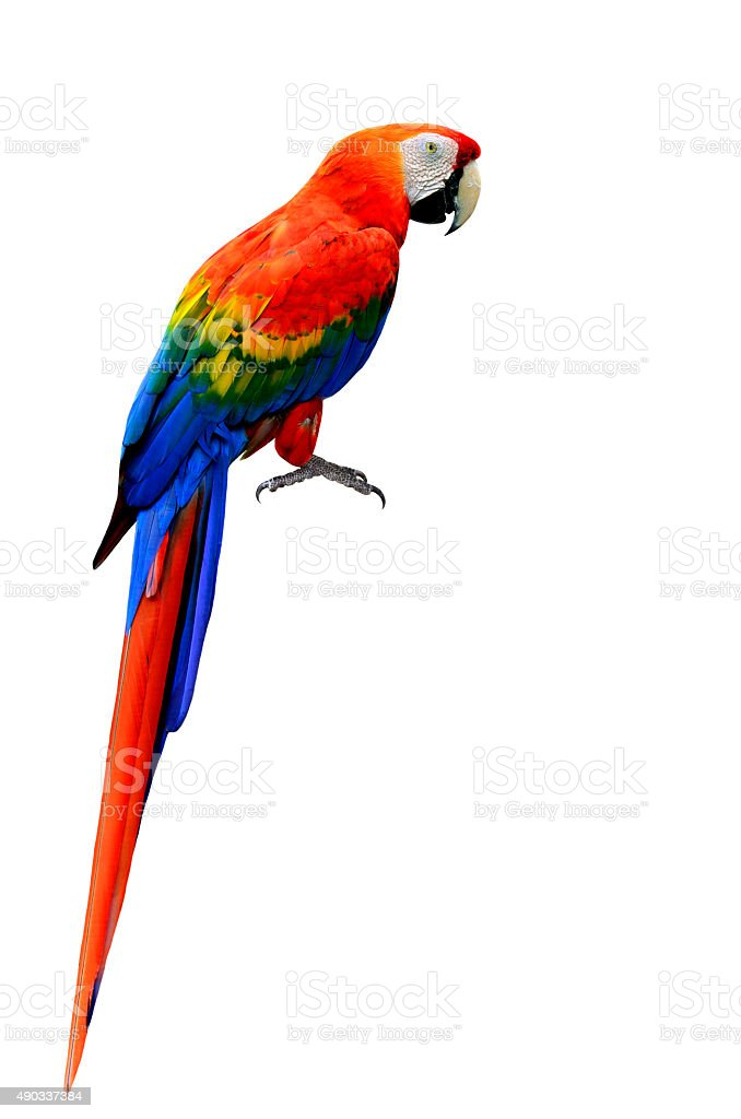Beautiful Scarlet Macaw bird in natural color with full details stock photo