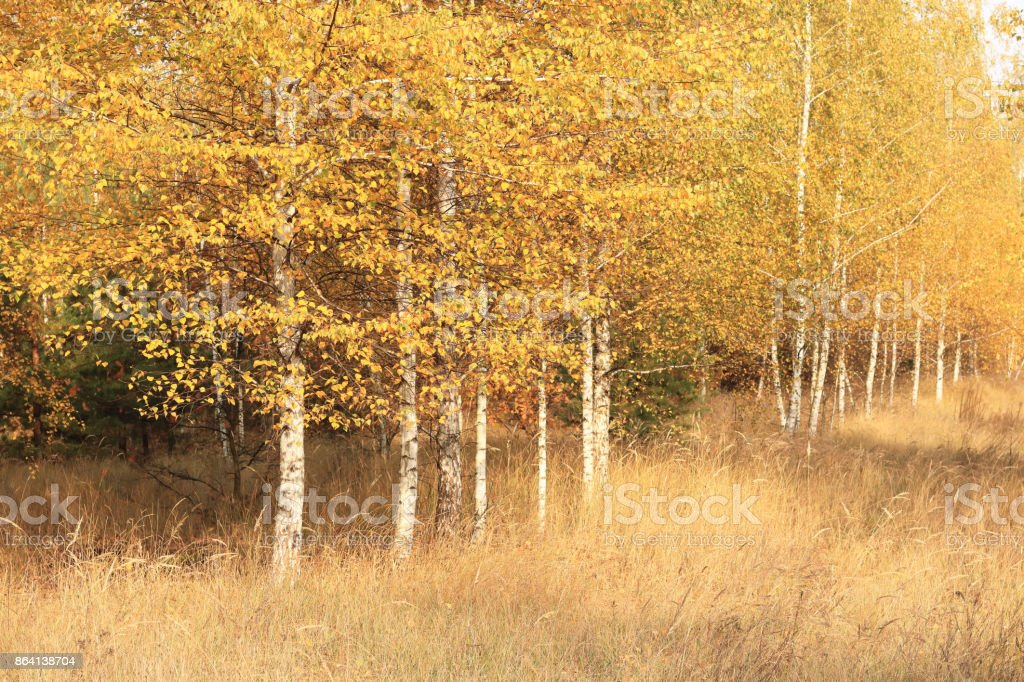 beautiful scene in yellow autumn birch forest in october with fallen yellow autumn leaves royalty-free stock photo