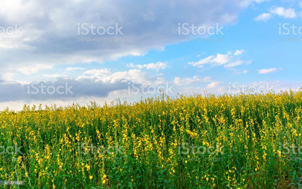 Beautiful scenery of Yellow Crotalaria juncea flower or Sunn hemp flower farm with white clouds and blue sky - Royalty-free Agriculture Stock Photo