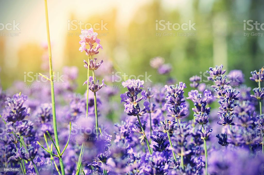 beautiful scented lavender flowers in growth at field foto royalty-free