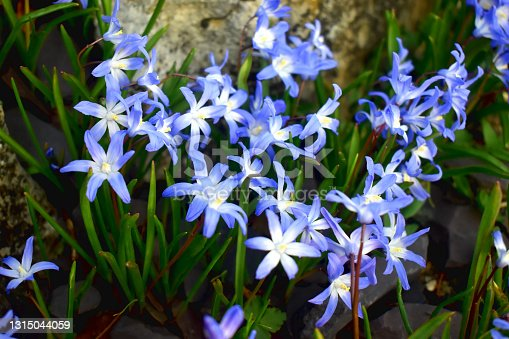 istock Beautiful Scilla Siberica flowers with green leaves in garden. 1315044059