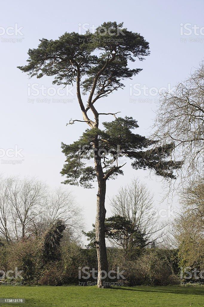 Beautiful Scots pine tree Pinus sylvestris in Morden Hall Park stock photo