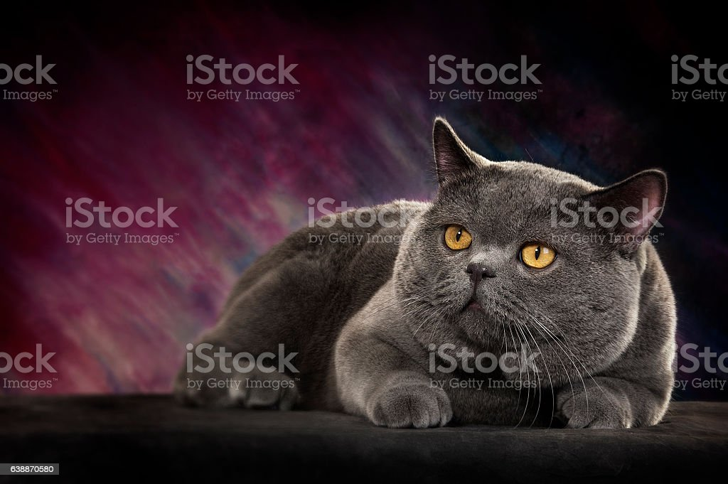 Beautiful Scottish Fold Shorthair Cat Resting stock photo