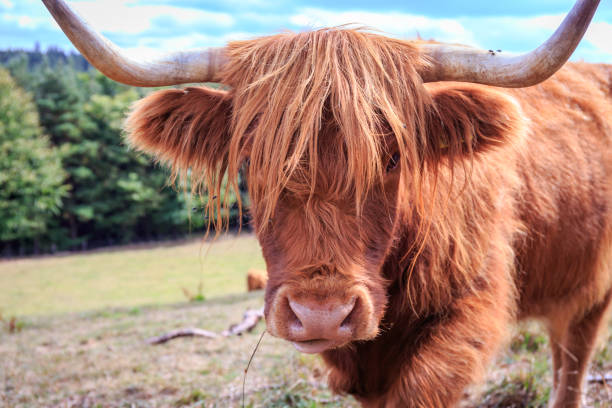 Beautiful Scottish Highland Cattle stock photo
