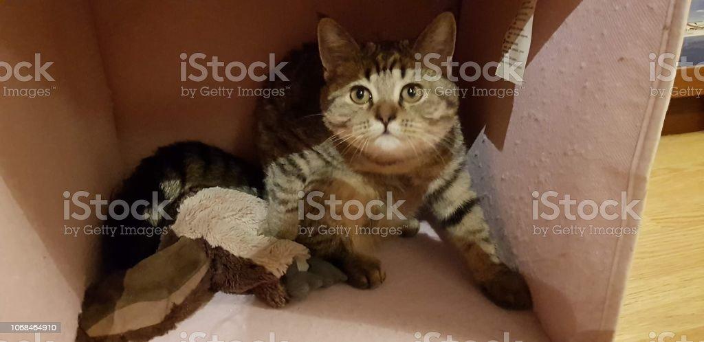 Beautiful scottish straight cat стоковое фото