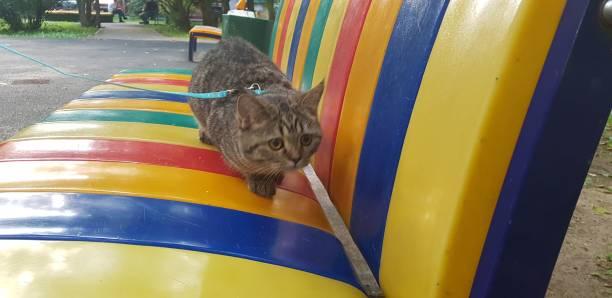 beautiful scottish straight cat - batalina cats стоковые фото и изображения