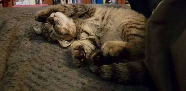 Cтоковое фото Beautiful scottish straight cat