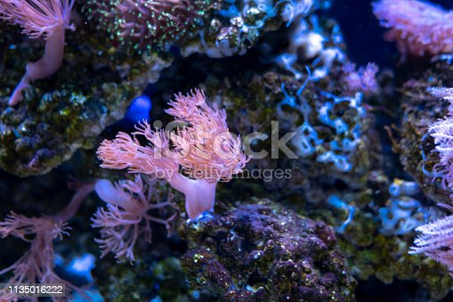 istock Beautiful sea flower in underwater world with corals and fish. 1135016222