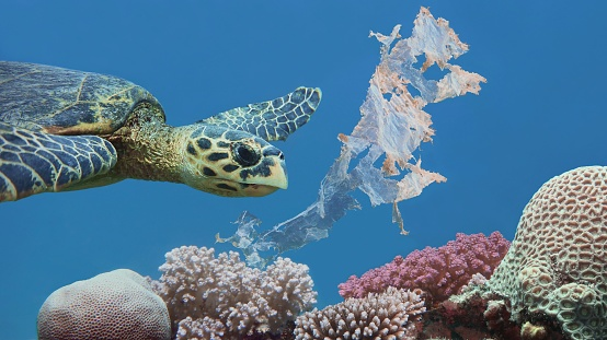 Beautiful sea hawksbill turtle swiming above colorful tropical coral reef  polluted with plastic bag