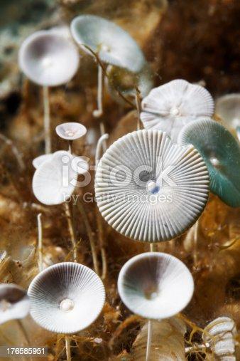 istock Beautiful Sea Life - Acetabularia 176585951