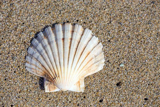beautiful sea shell on sand - herzmuschel stock-fotos und bilder