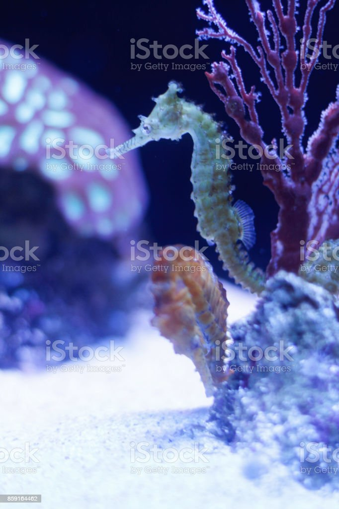 Beautiful Seahorse In Aquarium Stock Photo Download Image Now Istock