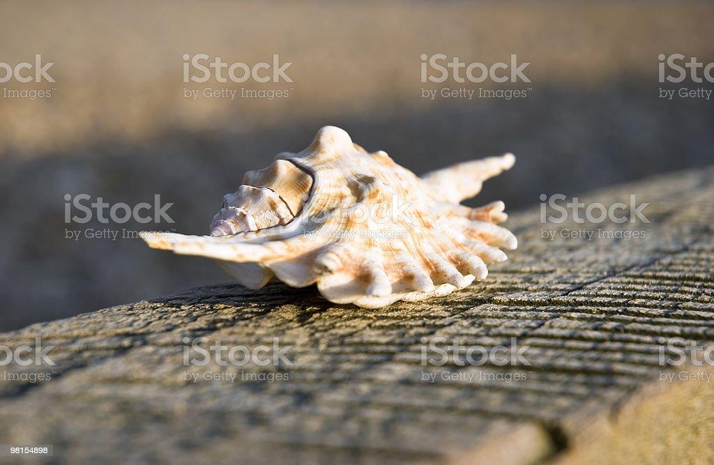 beautiful seashell on textured wood royalty-free stock photo